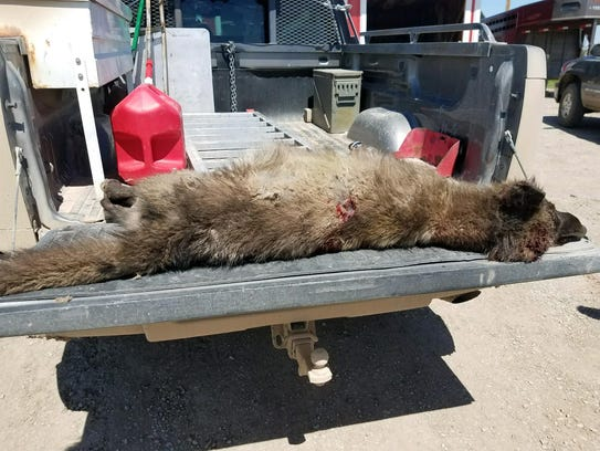 Canid creature shot near Denton