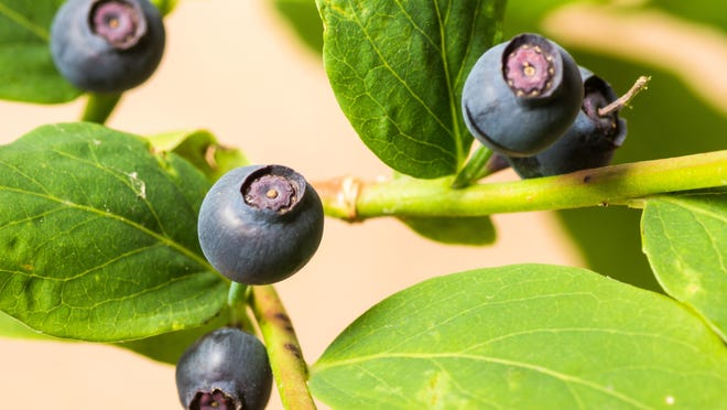 Wild Huckleberries and leaves