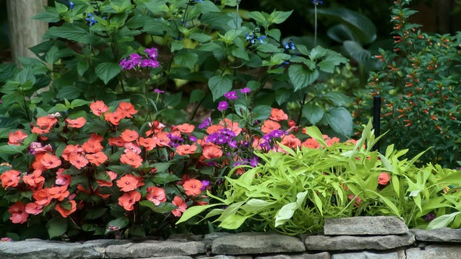 Illusion Emerald Lace ornamental sweet potato, right, and Hot Coral SunPatiens, left, dazzle in the foreground, as tall Rockin salvias and Vermillionaire cuphea welcome pollinators in the back.