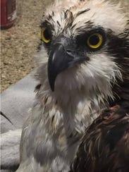 An osprey downed by Thursday's storm in Merritt Island