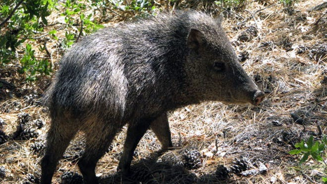 A javelina, which is not a feral hog or wild boar, visited a cabin in the mountains near Prescott, Ariz.