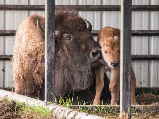 CSU_bison