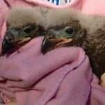 A month-old orphaned bald eaglet has been adopted by two non-releasable adult bald eagles at the Wildlife Sanctuary of Northwest Florida.