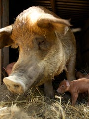 "A still from the short film ""Saving Emma"" shows the titular sow with one of her 17 piglets at Apricot Lane Farms in Moorpark. The Emmy-winning film by John Chester will be shown in Ventura as part of the inaugural Food and Farm Film Fest on Nov. 4. The farm itself is one of more than 20 locations participating in the fourth annual Ventura County Farm Day on Nov. 5."