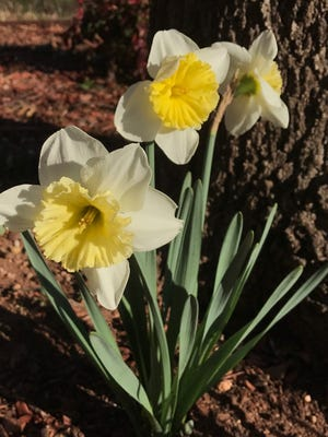 Daffodils have made their colorful appearance ... and may be gone by the arrival of spring.
