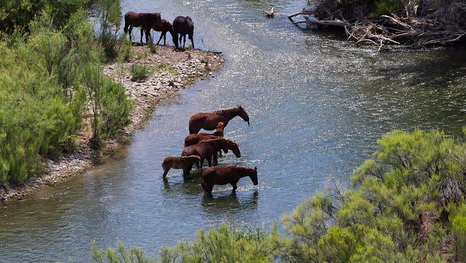 Wild horses cool their hooves in the Verde River below Bartlett Dam and about halfway to the confluence with the Salt River.