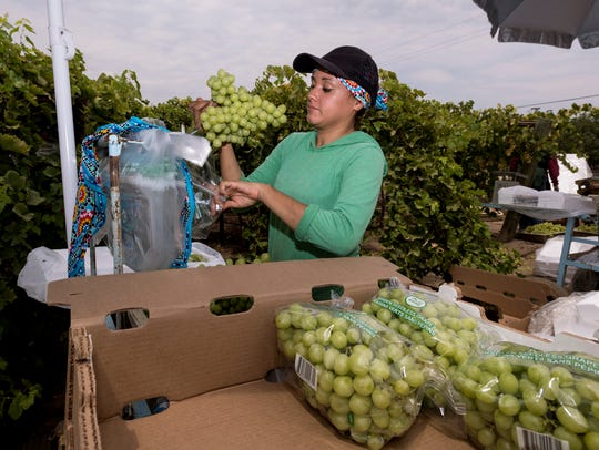 Brenda Alvarado packs seedless Ivory grapes for Sundale