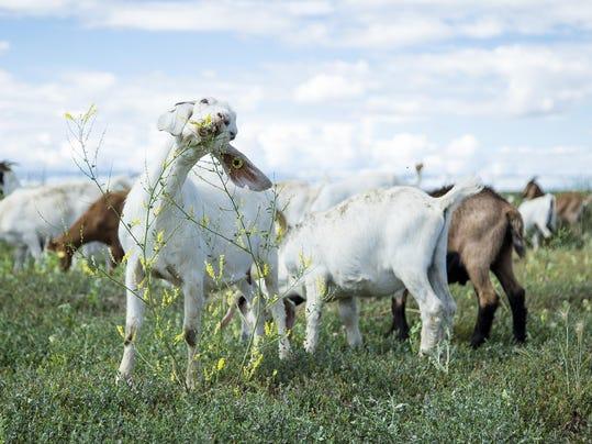 -goats_01.jpg_20160713.jpg