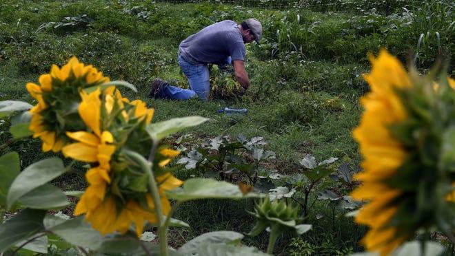 Shaun Daugherty of Fresh & Local Nashville tends to his garden in the Bellevue area of Nashville.