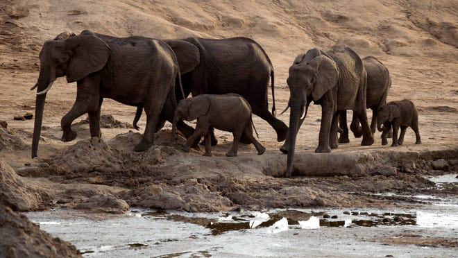 A herd of African elephants is pictured on November 2012 in Hwange National Park in Zimbabwe.