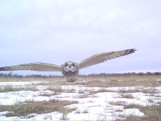 A short-eared owl flies toward a Snapshot Wisconsin trail cam.