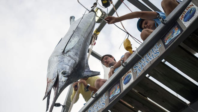 A white marlin is weighed at Ocean City's White Marlin Open in 2014.