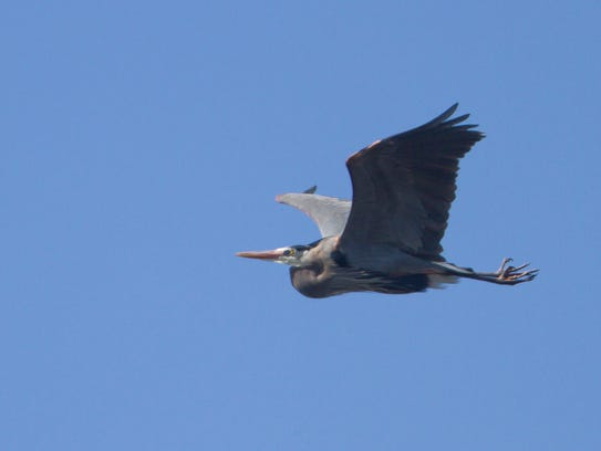 One of a number of great blue herons nesting in a rookery
