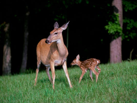 White-tailed Deer with its young (Odocoileus virginianus)