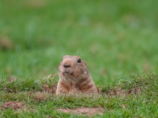 A groundhog taking a peek from a hole
