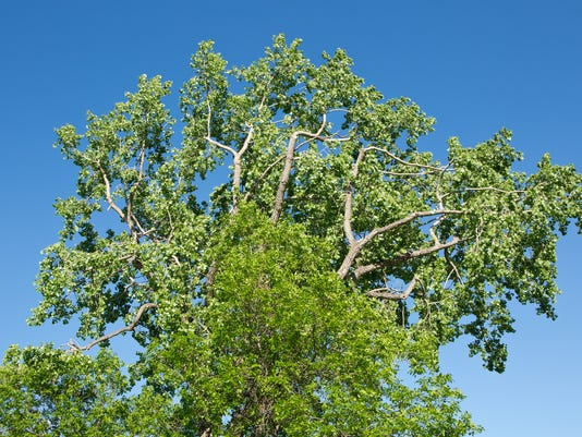 Green ash Plains cottonwood trees