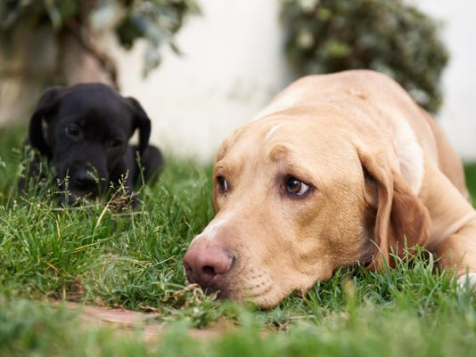 Black puppy and big labrador lying on grass