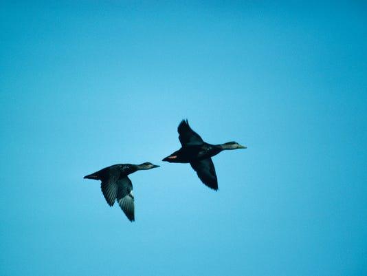 Pair of black ducks in flight, North America