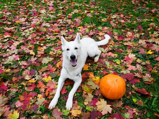White Swiss Shepherd dog with a pumpkin in autumn