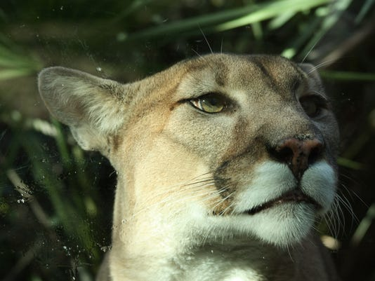 #stock Florida Panther Stock Photo