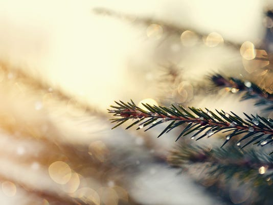 The sparkling ice drops on fir-tree branches.