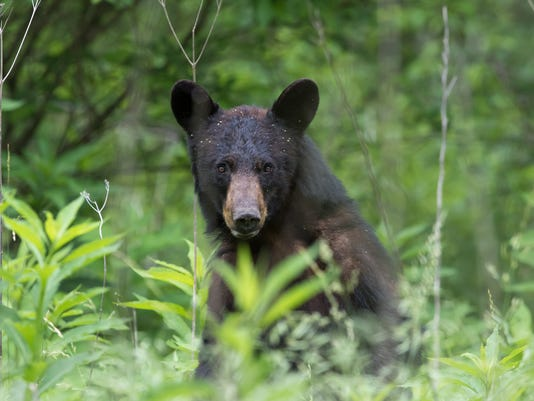 Black Bear Stands and Stares in Great Smoky Mountains Grass