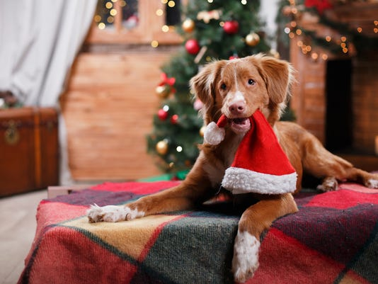 Dog Nova Scotia Duck Tolling Retriever holiday