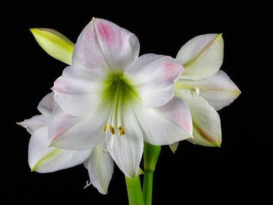White amaryllis flower