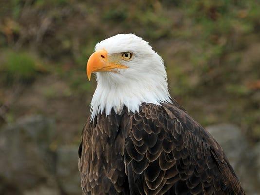 Bald eagle, head