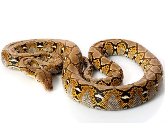 #stockphoto Reticulated Python Stock Photo