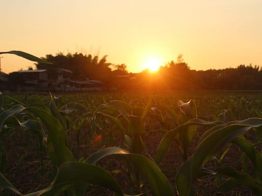 Green corn field at sunset.