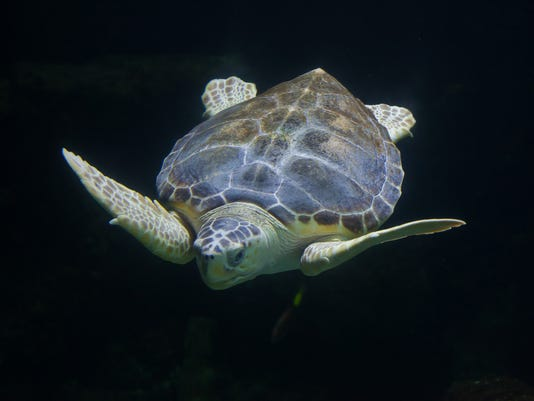 #stockphoto Loggerhead sea turtle Stock Photo