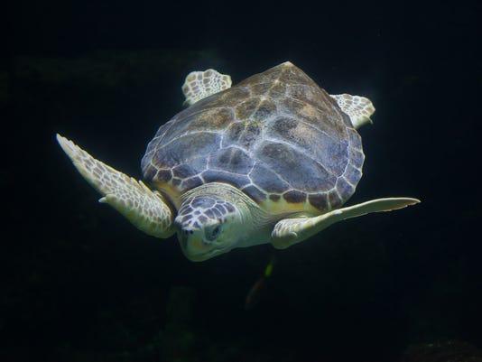 #stockphoto Loggerhead sea turtle Stock Photo