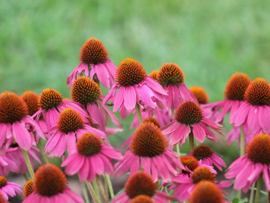 The purple coneflower is a useful pollinator-friendly