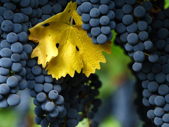 Fall in Napa Valley wine country. Close up of bunches