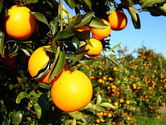 Orange groves in Florida.