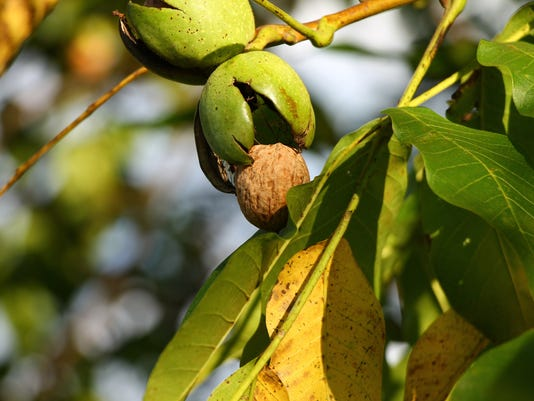 Ripe walnut on the branch