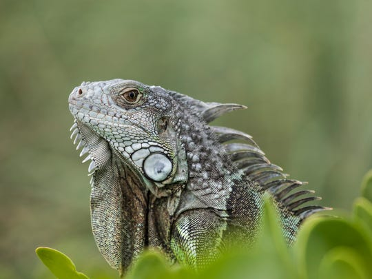 The green iguana is an invasive animal in Florida and