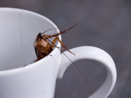 Close up cockroach in white cup drink