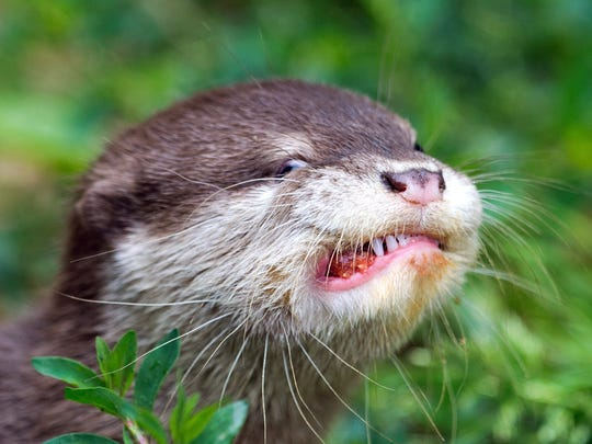 A young oriental small-clawed otter eats a meatball