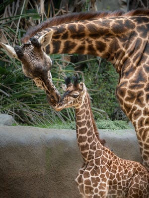 The still-unnamed Masai giraffe calf, born at the Los Angeles Zoo on May 15, spends quality time with her mother, Hasina. Thursday is World Giraffe Day.