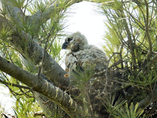 An owlet keeps watch from its nest near Farquhar Park this month. The owlet is one of two that hatched this spring in the great horned owl nest in Heather Klinefelter's neighborhood.
