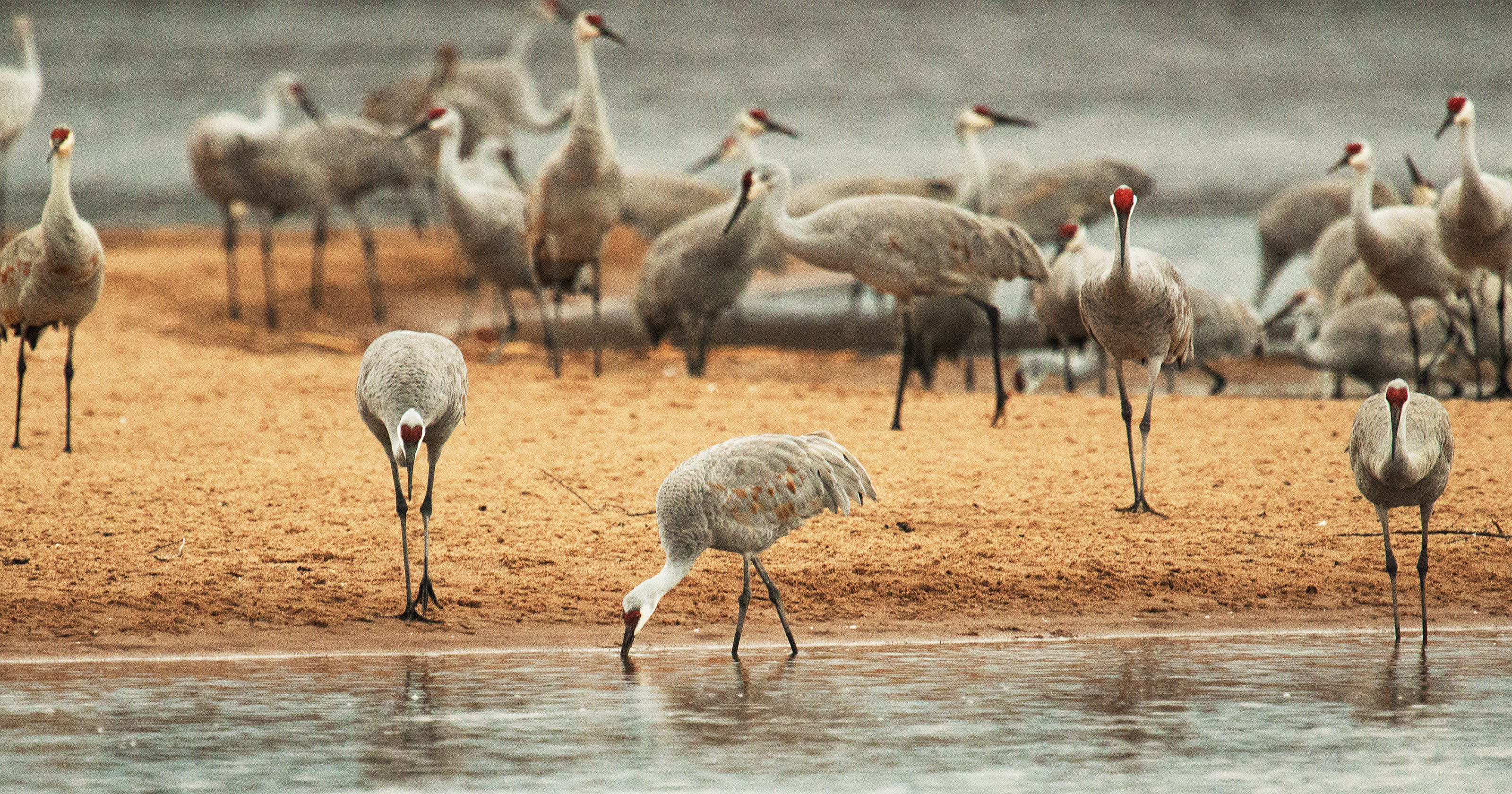 Once Almost Extinct In Wisconsin Sandhill Cranes Now Congregate En Masse The Fall