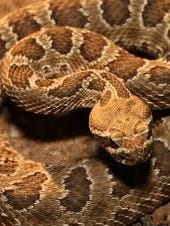 One of the West's family of rattlesnakes.