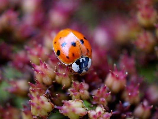 635869778625965885-ladybug.jpg