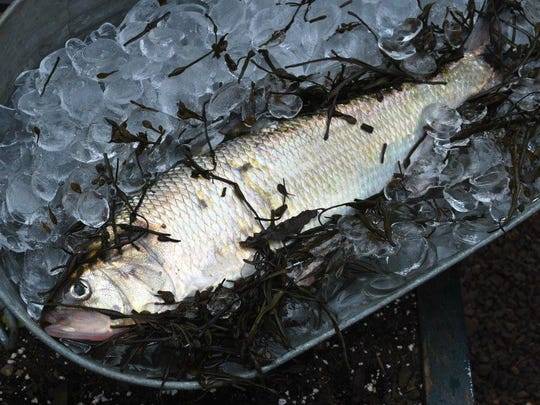The American shad is a member of the herring family.