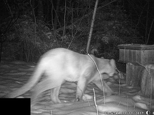 636499774931393746-Cougar-Sighting.jpg