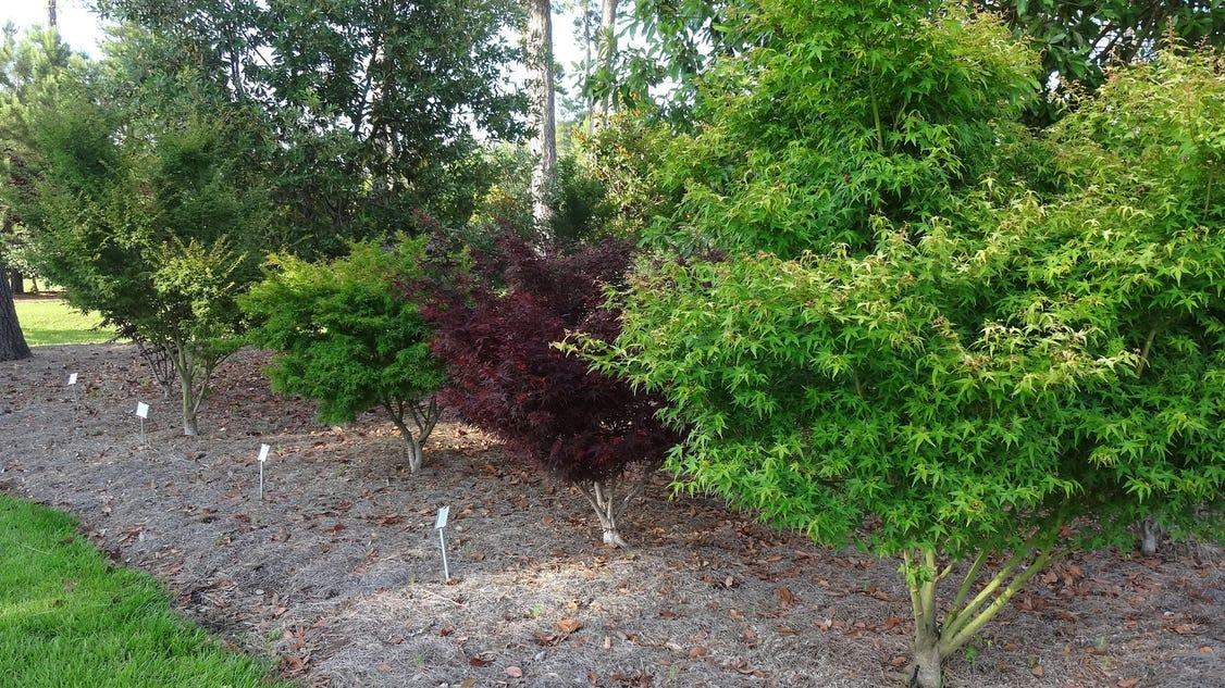 Japanese maples make good specimen trees for Specimen trees
