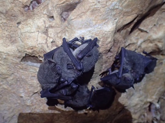 Endangered Gray bats are found hibernating in a cave in Cocke County.