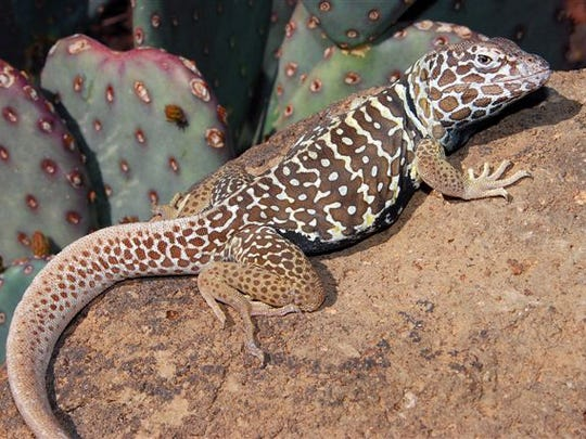 The warm weather is bring out the lizards.  This is